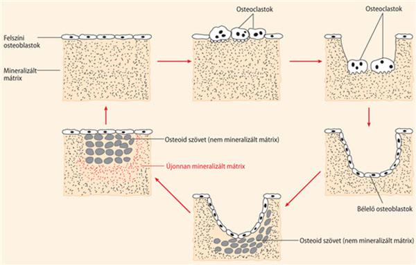 a porcszövet regenerációjának életkori jellemzői)