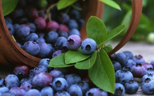 Áfonya termesztés - Talajigény Vízigény Öntözés Hőmérséklet