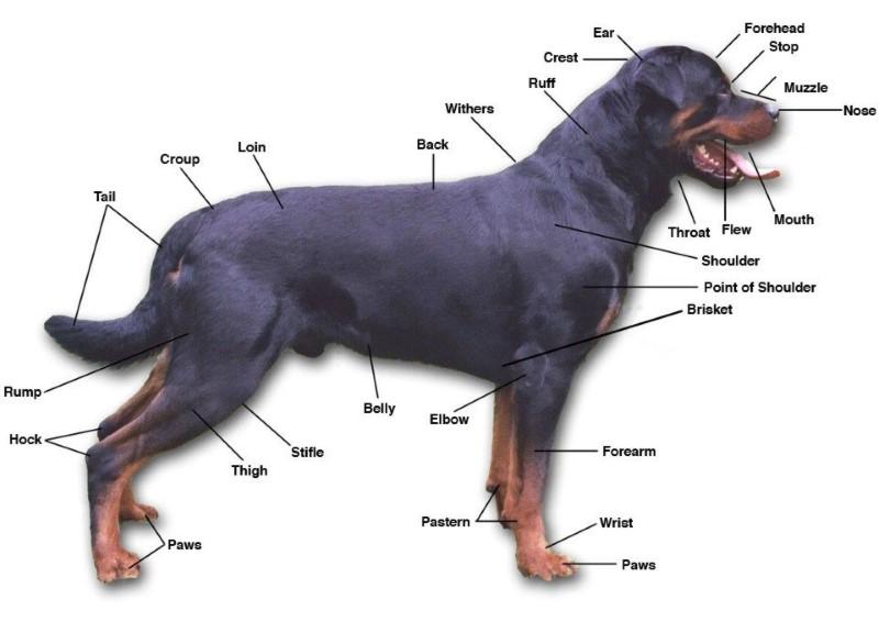Rottweiler tartása - KutyaKaland