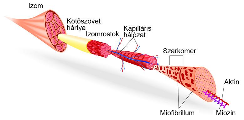 az ízületi véráramlás javítása kezelésként)