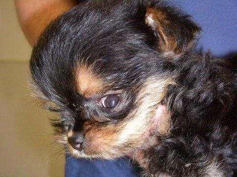 ízületi betegség a chihuahua-ban