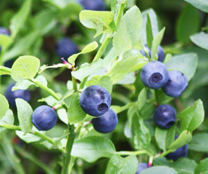 Amit a fürtös áfonya termesztéséről tudni kell - 1. rész - Bogyósok - Gyümölcs