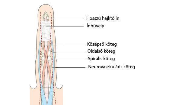 az ujjak és a lábujjak ízületei)