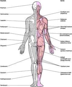 izom-csontrendszer és kötőszövet betegségei